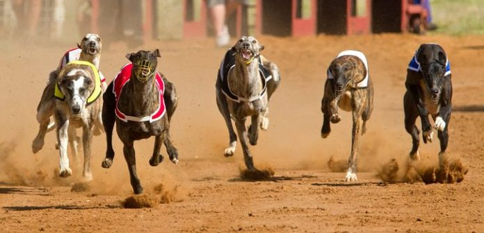 Florida Votes to End Greyhound Racing